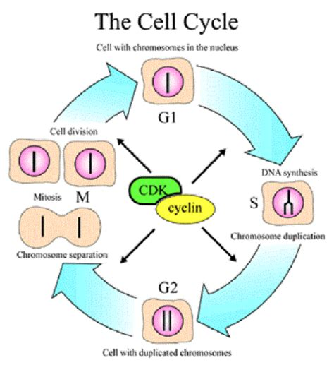 cell cycle diagram learning mitosis cell division diagram humandiagram info