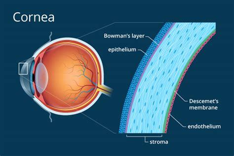 diagram of cornea cornea definition and detailed illustration