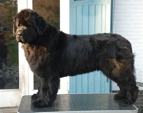 Do Newfoundland Dogs Shed by 120 Best Images About Newfoundland On
