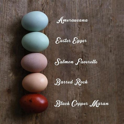 barred rock egg color what color does your chicken lay amercauna easter egger