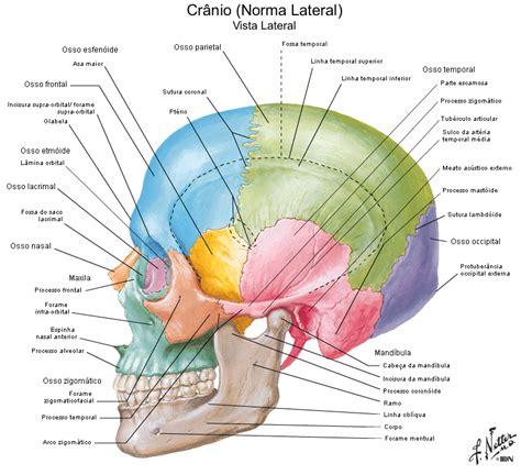 testa anatomia anatomia cr 226 nio