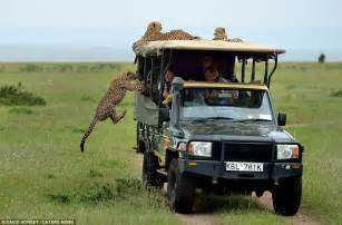 Safari Jeeps Kenya Tourist Comes To With Cheetah Who Leaped