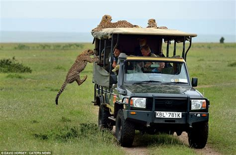 african safari jeep kenya tourist comes face to face with cheetah who leaped