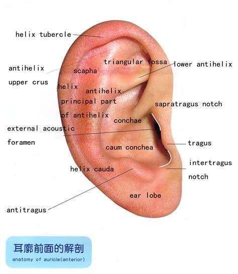 anatomy of the outer ear diagram auriculair diagram zoeken ooracupunctuur