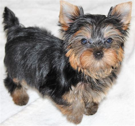 tennessee yorkie breeders teacup yorkie puppies for sale tn breeds picture