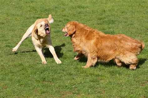 golden retriever and yellow lab yellow lab versus golden retriever flickr photo
