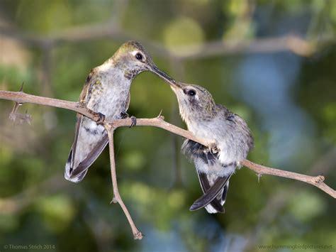 hummingbird nests archives hummingbird pictures