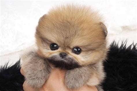 brown teacup pomeranian puppies for sale 1000 ideas about teacup pomeranian on teacup pomeranian pomeranian puppy