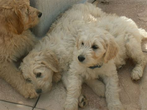 goldendoodle puppies for sale this is a gorgeous teddy goldenoodle the