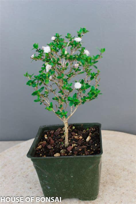 bonsai 10 seeds live flowering house plant indoor garden chinese flowering snow rose serissa pre bonsai tree 4