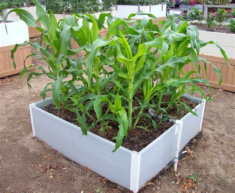 growing corn in raised beds raised beds diamond bar gro systems