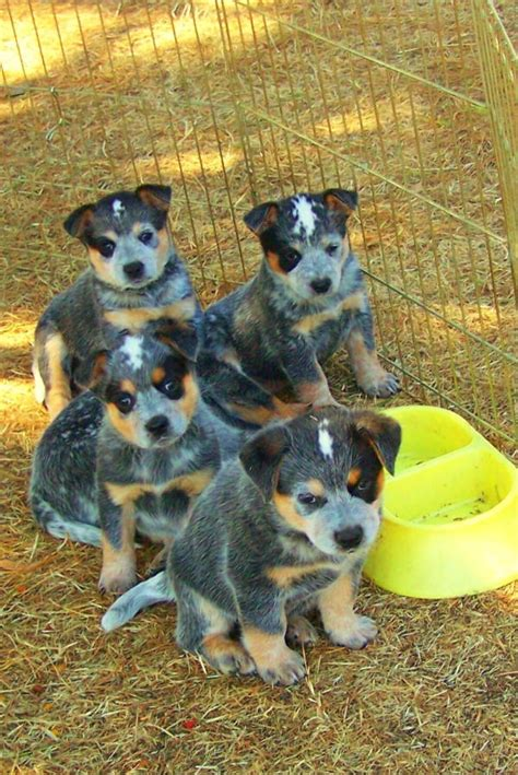 and blue heeler puppies australian cattle pups breeds picture