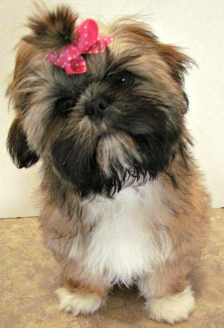 gold shih tzu puppies shih tzu coat colors