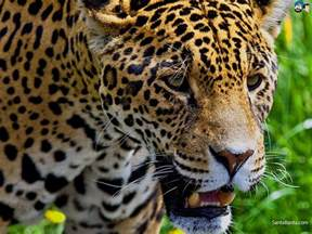 What Do Jaguars Jaguars Wallpaper 3