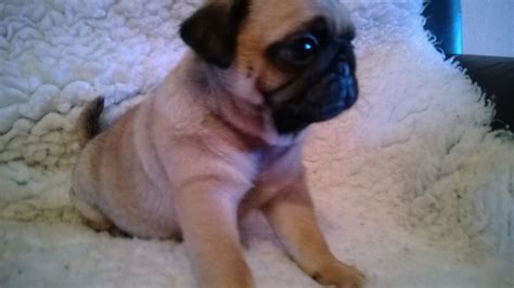 apricot pugs for sale apricot pugs stunning puppies ready now stoke on trent staffordshire pets4homes