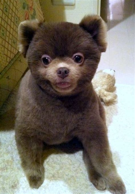 pomeranian chocolate chocolate pomeranian it s a