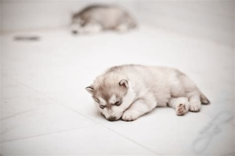 siberian husky puppy cost how much does a siberian husky puppy cost many