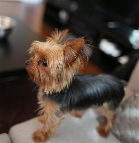 tiny yorkies yorkie haircuts pictures breeds picture