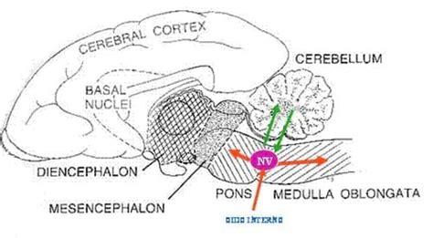 nucleo vestibular aspectos b 193 sicos s 205 ndrome vestibular en perros y gatos