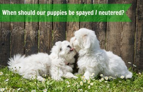 age to spay a what is the right age to spay and neuter our dogs keep the wagging