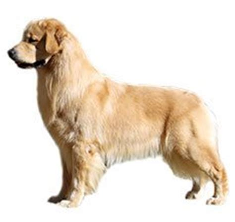 labrador golden retriever difference compare golden retriever vs labrador retriever difference between golden retriever