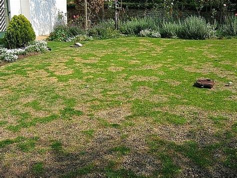 urine killing grass 7 tips to prevent urine spots on your lawn