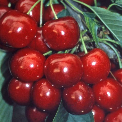 All About Cherries by Sweetheart Cherry Tree Buy Sweet Cherry Trees