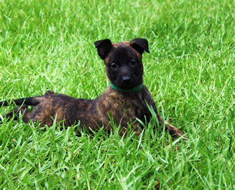 german shepherd puppies for sale in ms shepherd puppies for sale breeds picture