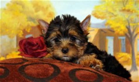 yorkies for sale cape town teacup yorkie puppies now available for sale cape town free classifieds in south