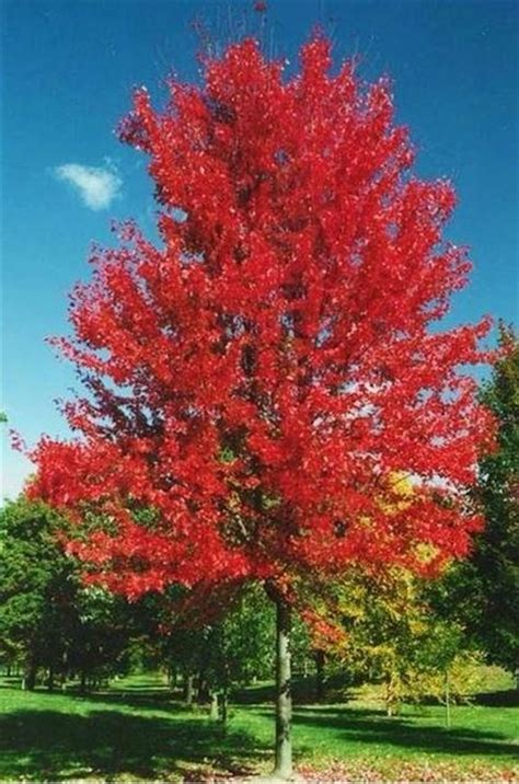 12 foot maple tree types of maple trees the home depot community