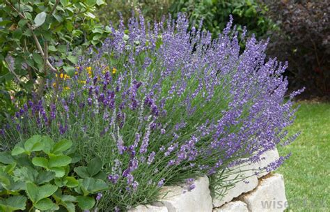 is lavender a perennial image gallery lavender perennial