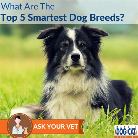 top 5 smartest dogs what are the top 5 smartest breeds makati and cat hospital