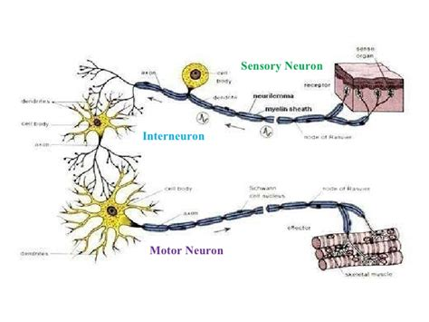 motor and sensory sensory neuron and motor neuron difference impremedia net