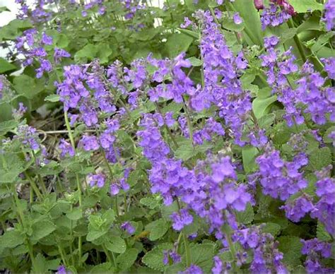 flowers for flower lovers catmint flowers