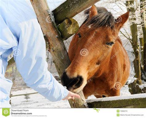 alimentazione cavallo winter feeding stock photo image 10982210