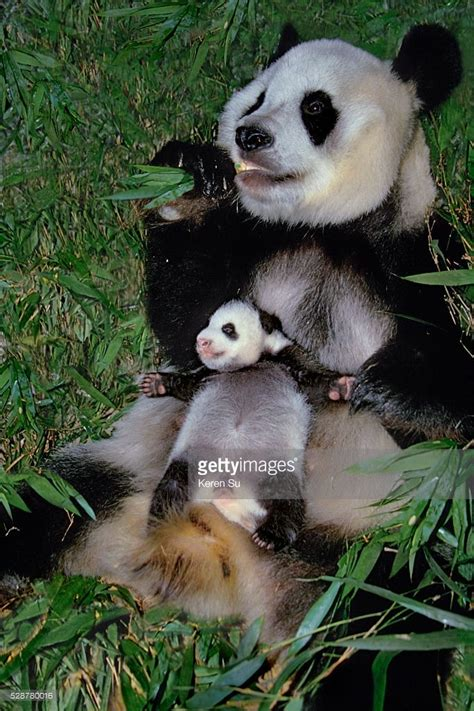 Baby Panda One 1000 images about pandas on pandas