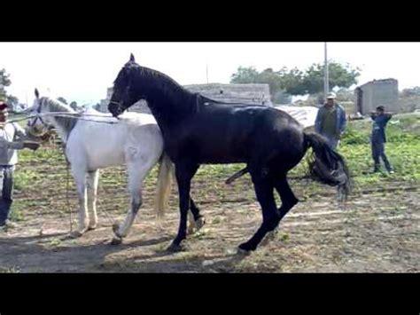 mujer que hace el amor con caballo apareamiento de caballos xd youtube