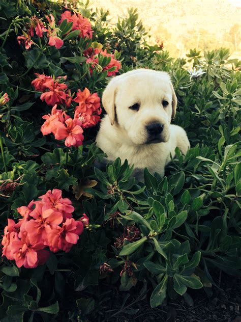 lab puppies san diego yellow lab puppies in san diego labrador retriever puppies