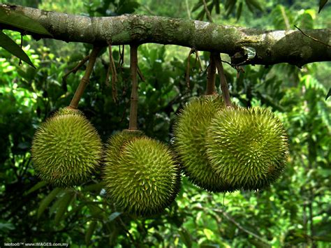 epicurean enthusiast durian bad fruit or bad rap