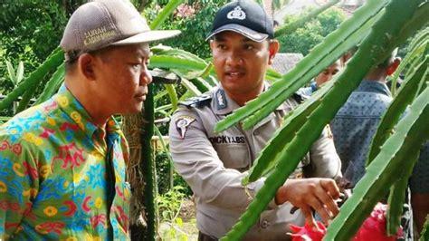 Bibit Buah Naga Jakarta bantu ekonomi warga aiptu dicky bagi bagi bibit buah naga tribunnews