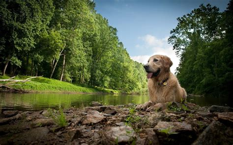 golden retriever nature golden retriever wallpapers pictures images