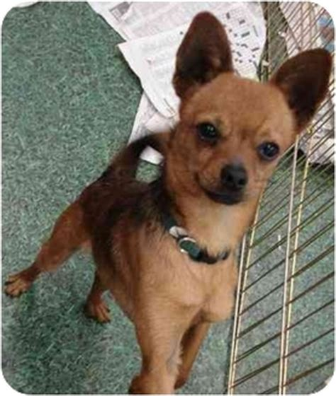 pomeranian and chihuahua mix grown pug pomeranian mix dogs breeds picture