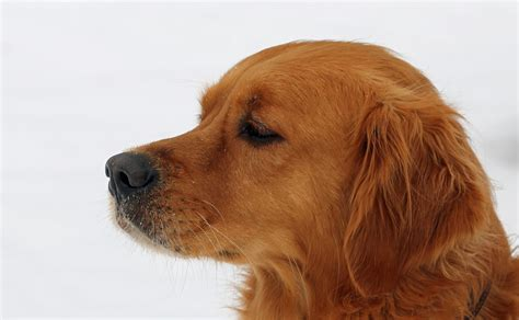 golden retriever whiskers free images puppy fur brown pets race nose