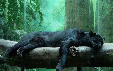 black jaguar hd wallpaper black panther wallpapers wallpaper cave