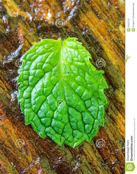 foto bagnate foglie bagnate della menta sul di legno fotografia stock