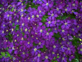 Clematis free stock photo public domain pictures