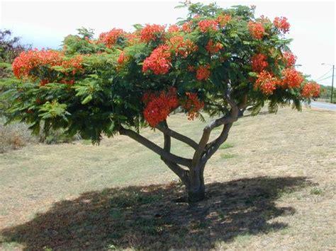 Delonix Syari D 1 exotische nutz und zierpflanzen delonix regia