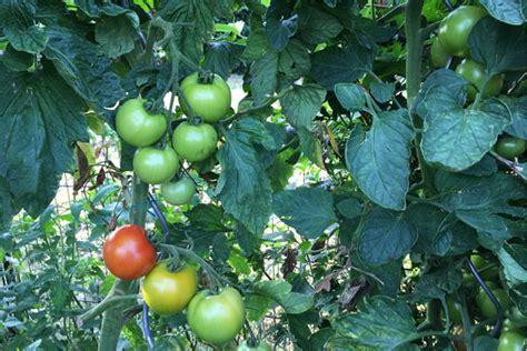 Wie Pflege Ich Tomatenpflanzen 5105 by Tomatenpflanzen Tipps Zum Setzen Pflegen Und Schneiden
