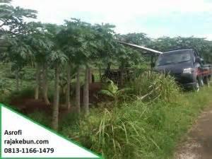 Jual Bibit Sengon Magelang tanah sawah dijual di magelang 081311661479 rajakebun
