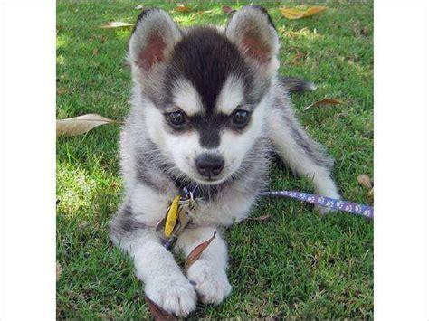 husky puppies for adoption in ohio siberian husky puppies for free adoption for sale adoption from 43402 ohio butler